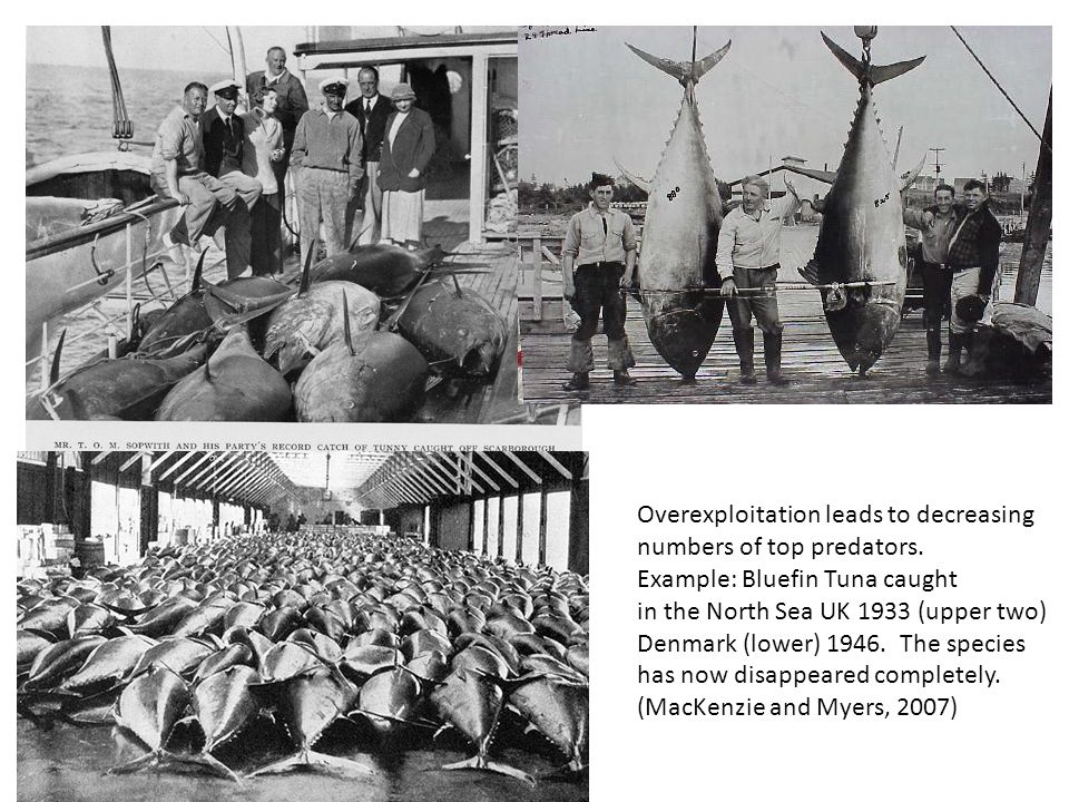 Overexploitation leads to decreasing numbers of top predators. Example: Bluefin Tuna caught in the North Sea UK 1933 (upper two) Denmark (lower) 1946.