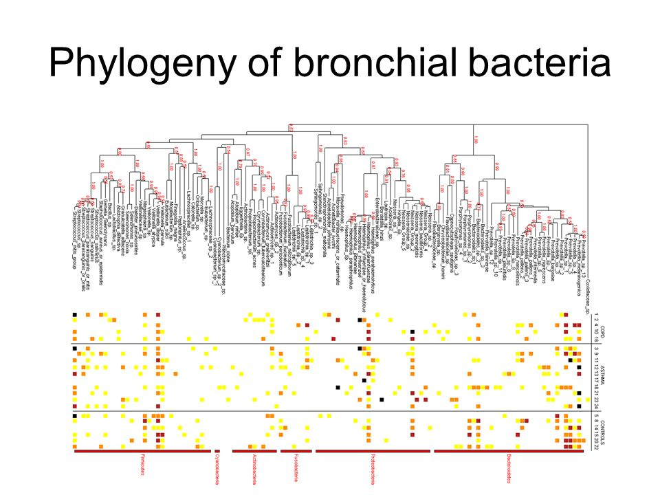 Phylogeny of bronchial bacteria