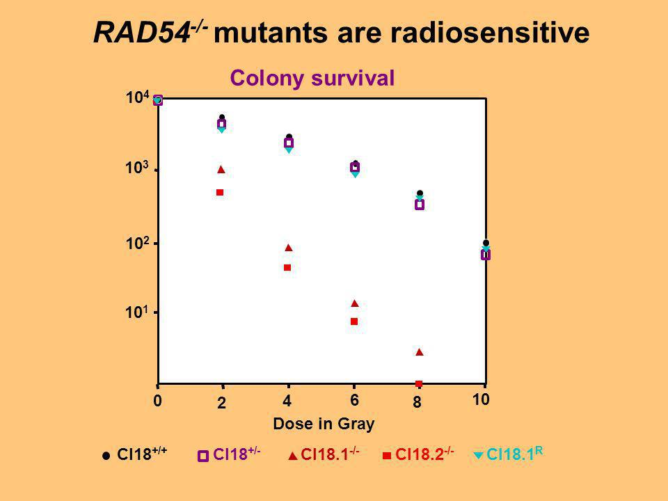 RAD54 -/- mutants are radiosensitive Colony survival 10 1 10 2 10 3 10 4 Cl18 +/+ Cl18 +/- Cl18.1 -/- Cl18.2 -/- Cl18.1 R 0 2 4 6 8 10 Dose in Gray