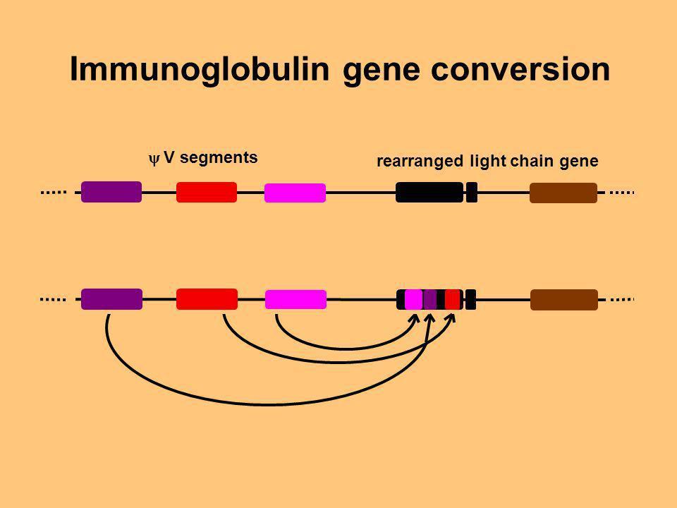 V segments rearranged light chain gene Immunoglobulin gene conversion