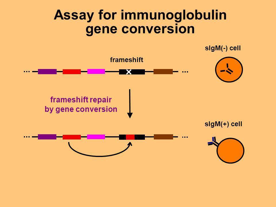 Assay for immunoglobulin gene conversion frameshift frameshift repair by gene conversion sIgM(-) cell sIgM(+) cell