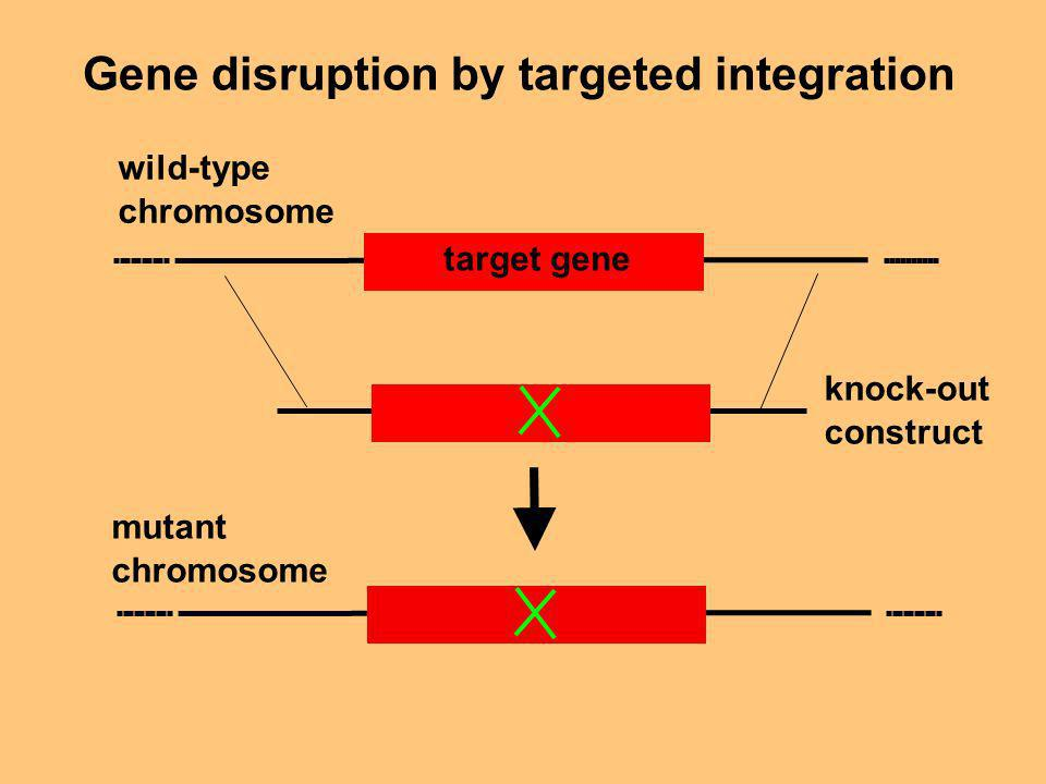 Gene disruption by targeted integration target gene wild-type chromosome mutant chromosome knock-out construct
