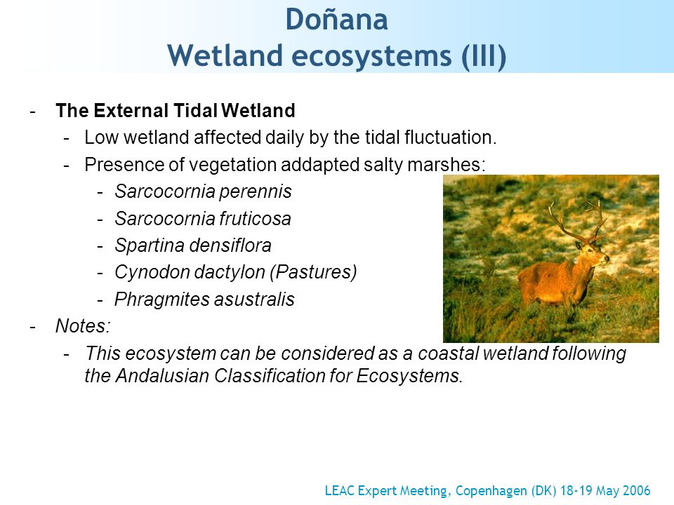Doñana Wetland ecosystems (III) -The External Tidal Wetland -Low wetland affected daily by the tidal fluctuation. -Presence of vegetation addapted sal