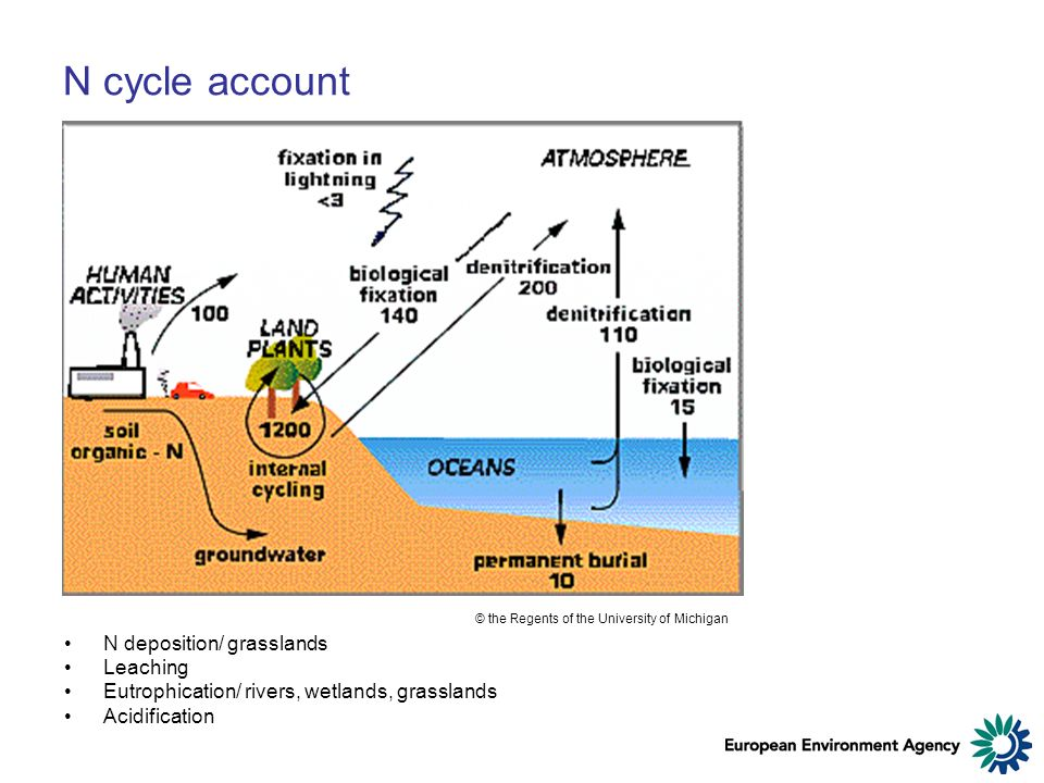 N cycle account N deposition/ grasslands Leaching Eutrophication/ rivers, wetlands, grasslands Acidification © the Regents of the University of Michigan