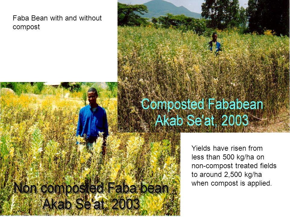 Crops not usually given chemical fertilizer Finger Millet Faba Bean Field Pea These are usually not given much attention, but with compost, high yield increases have been obtained.