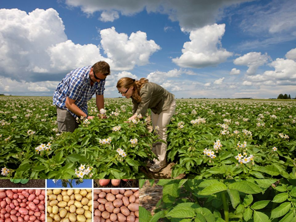 Types & varieties More then 130 potatoes varieties have been developed for various uses. Depends on its use, potatoes differs between: Steady Potatoes