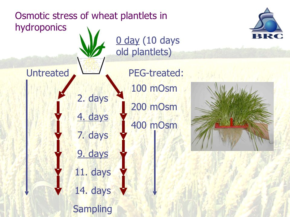 Osmotic stress of wheat plantlets in hydroponics UntreatedPEG-treated: 0 day(10days old plantlets) 100mOsm 200mOsm 400mOsm 2.days 4.days 7.days 9.days 11.days 14.days Sampling