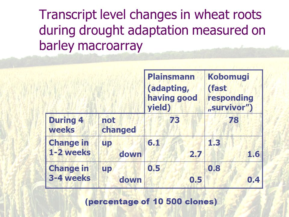 Transcript level changes in wheat roots during drought adaptation measured on barley macroarray Plainsmann (adapting, having good yield) Kobomugi (fast responding survivor) During 4 weeks not changed 7378 Change in 1-2 weeks up down 6.1 2.7 1.3 1.6 Change in 3-4 weeks up down 0.5 0.8 0.4 (percentage of 10 500 clones)