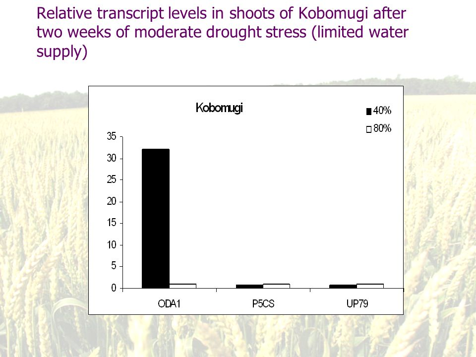 Relative transcript levels in shoots of Kobomugi after two weeks of moderate drought stress (limited water supply)
