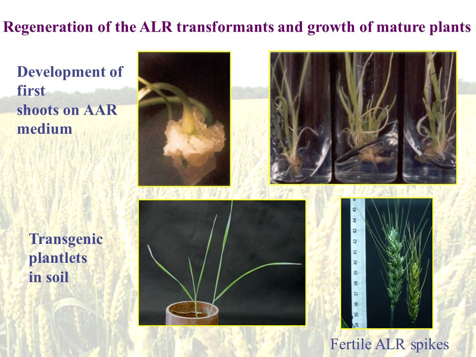 Development of first shoots on AAR medium Transgenic plantlets in soil Regeneration of the ALR transformants and growth of mature plants Fertile ALR spikes