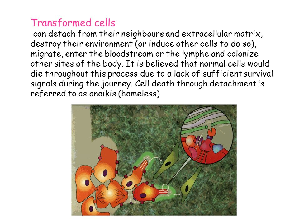 Transformed cells can detach from their neighbours and extracellular matrix, destroy their environment (or induce other cells to do so), migrate, enter the bloodstream or the lymphe and colonize other sites of the body.