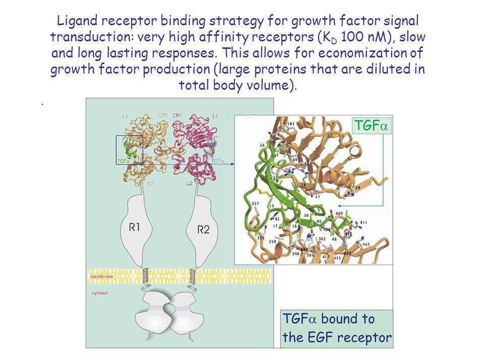 Ligand receptor binding strategy for growth factor signal transduction: very high affinity receptors (K D 100 nM), slow and long lasting responses.