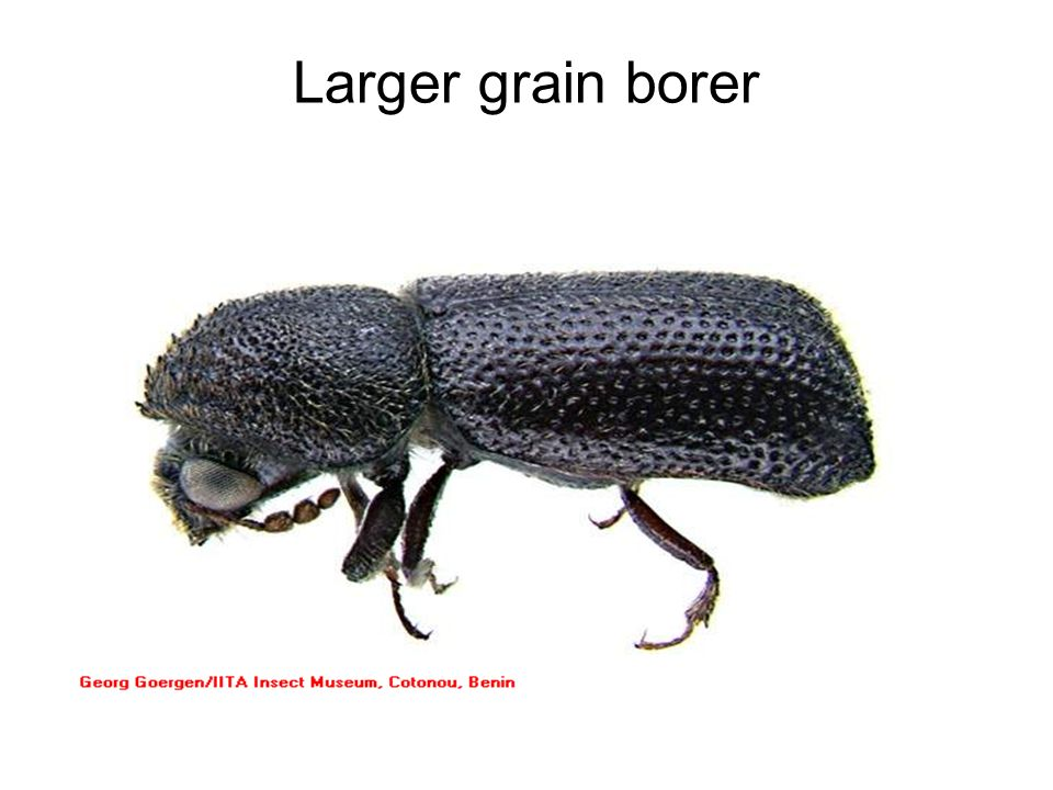 Larger grain borer