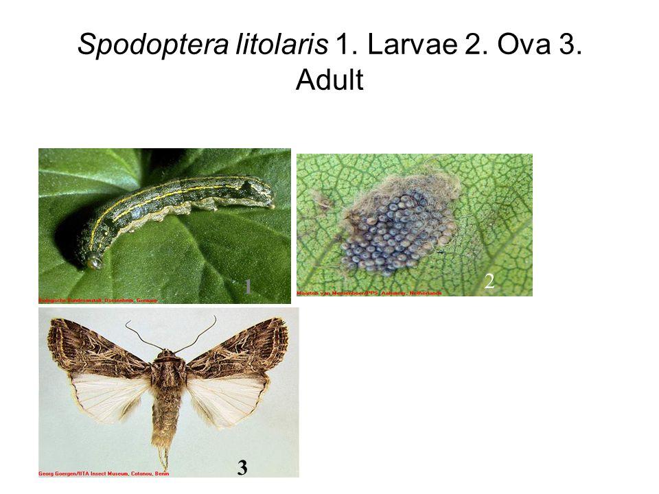 Spodoptera litolaris 1. Larvae 2. Ova 3. Adult 1 2 3