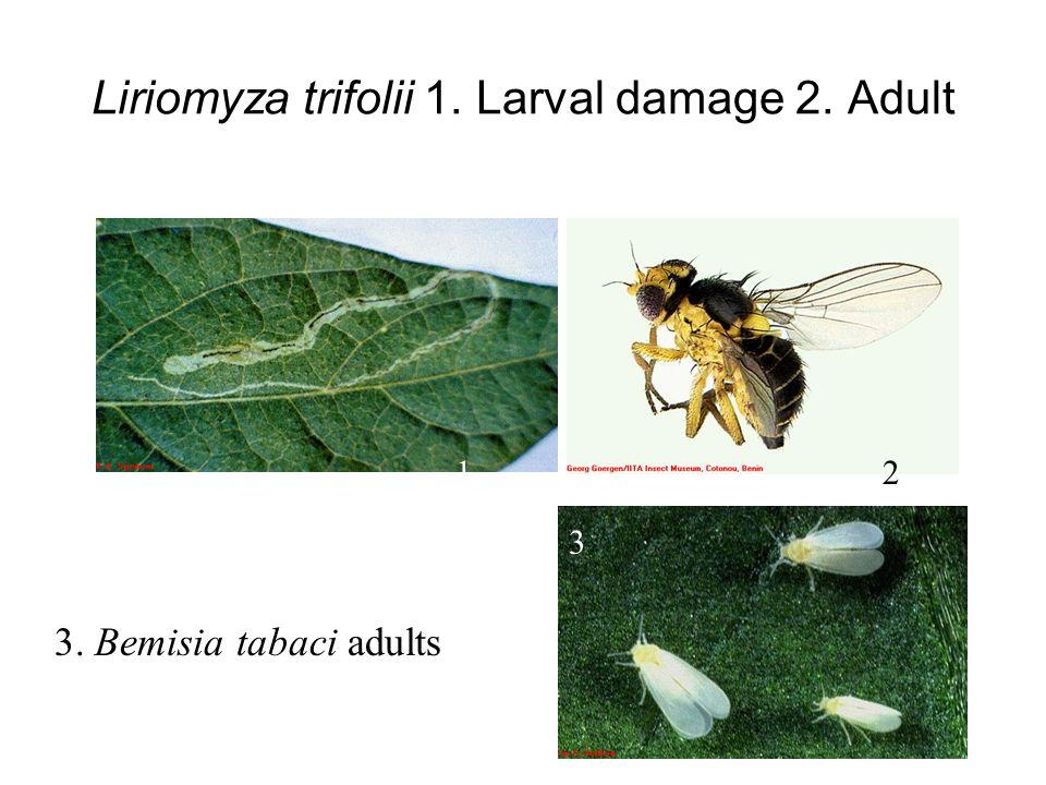 Liriomyza trifolii 1. Larval damage 2. Adult 12 3 3. Bemisia tabaci adults
