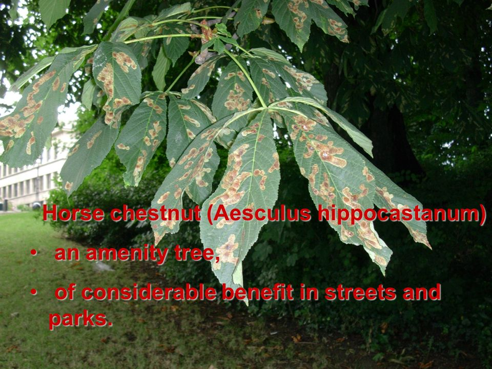 Horse chestnut (Aesculus hippocastanum) an amenity tree, an amenity tree, of considerable benefit in streets and parks.