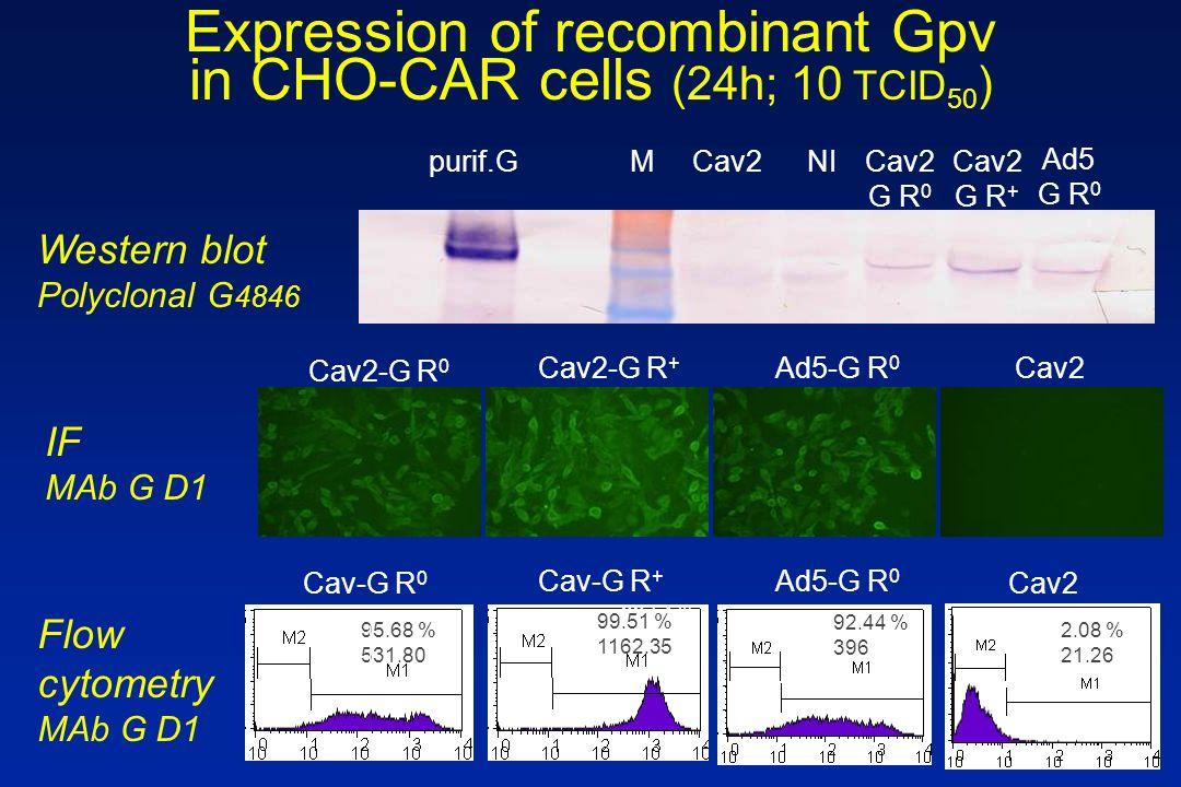 Ad5-G R 0 Cav2-G R + Cav2-G R 0 Cav2 Ad5 G R 0 Cav2 G R + Cav2 G R 0 Cav2Mpurif.GNI 95.68 % 531.80 92.44 % 396 2.08 % 21.26 99.51 % 1162.35 Ad5-G R 0 Cav-G R + Cav-G R 0 Cav2 Expression of recombinant Gpv in CHO-CAR cells (24h; 10 TCID 50 ) Western blot Polyclonal G 4846 IF MAb G D1 99.51 % 1162.35 Flow cytometry MAb G D1