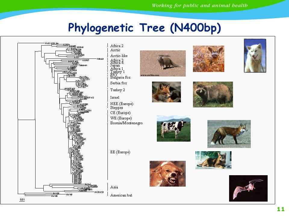 11 Phylogenetic Tree (N400bp)