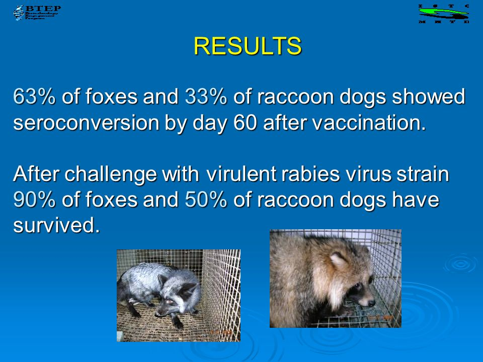 63% of foxes and 33% of raccoon dogs showed seroconversion by day 60 after vaccination. After challenge with virulent rabies virus strain 90% of foxes