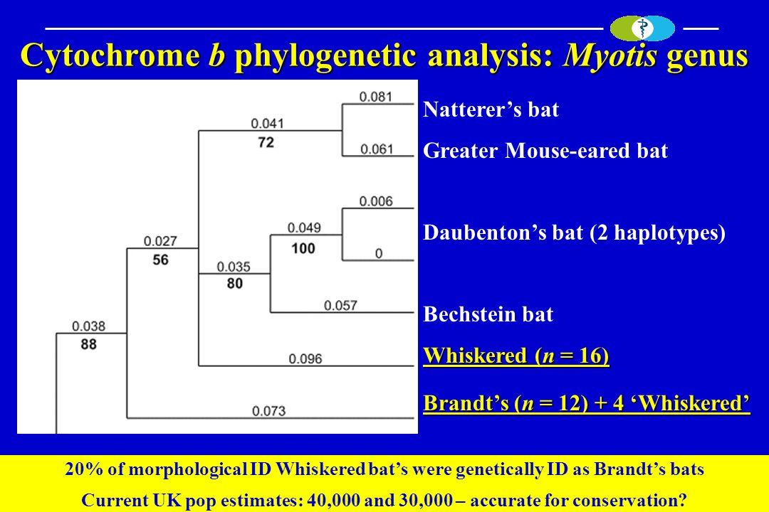 Cytochrome b phylogenetic analysis: Myotis genus Natterers bat Greater Mouse-eared bat Daubentons bat (2 haplotypes) Bechstein bat Whiskered (n = 16)