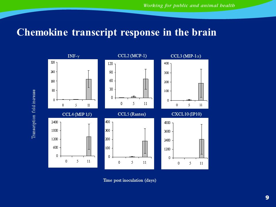 9 Chemokine transcript response in the brain INF- CCL2 (MCP-1) CCL3 (MIP-1 ) CCL4 (MIP 1 ) CCL5 (Rantes)CXCL10 (IP10) Transcription fold increase Time