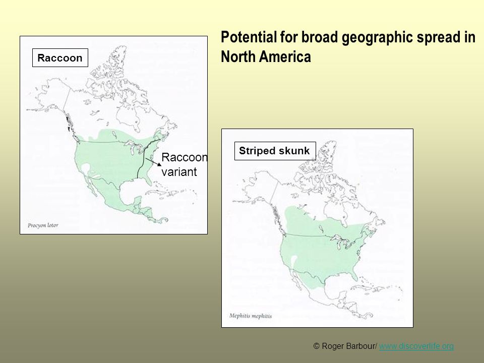© Roger Barbour/ www.discoverlife.orgwww.discoverlife.org Raccoon Striped skunk Potential for broad geographic spread in North America Raccoon variant