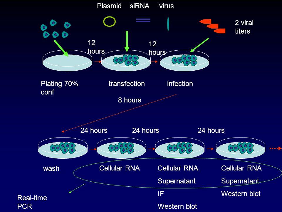 wash Plating 70% conf 12 hours Plasmid siRNA virus transfection 12 hours infection 8 hours 24 hours 2 viral titers Cellular RNA Supernatant IF Western blot Cellular RNA Supernatant Western blot Real-time PCR