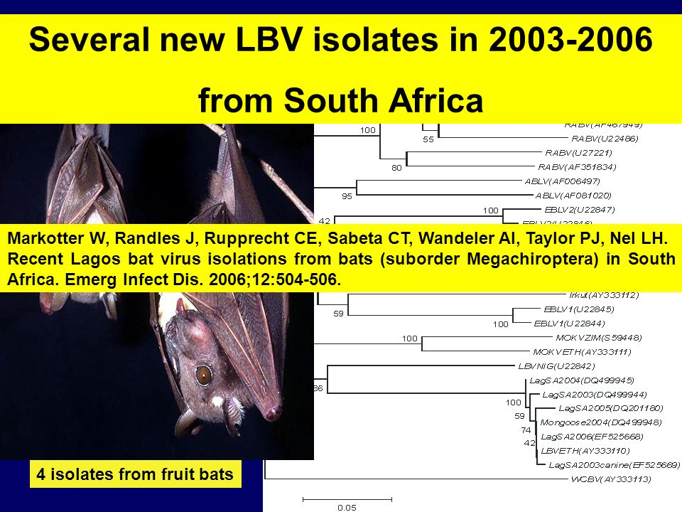 Several new LBV isolates in 2003-2006 from South Africa 4 isolates from fruit bats Markotter W, Randles J, Rupprecht CE, Sabeta CT, Wandeler AI, Taylo