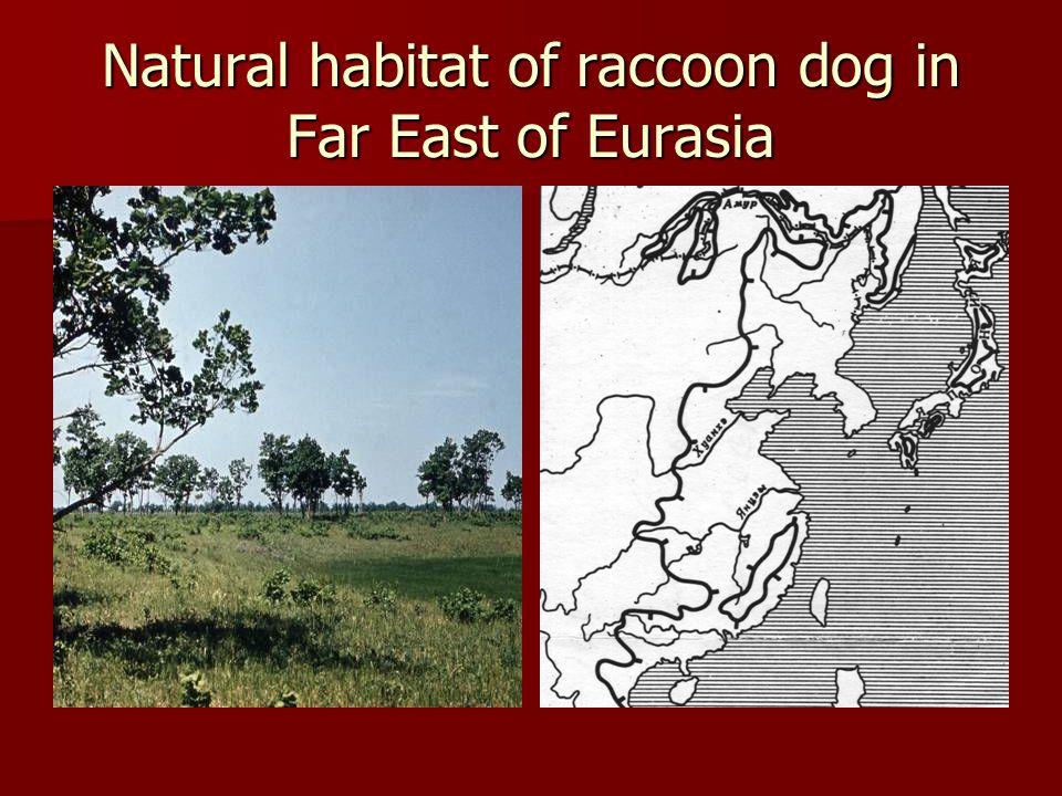 Natural habitat of raccoon dog in Far East of Eurasia