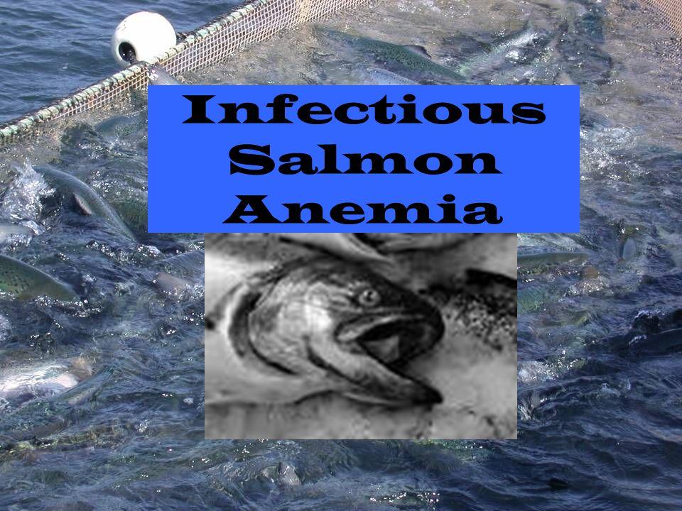 Infectious Salmon Anemia
