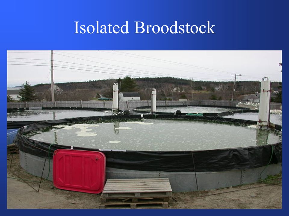 Isolated Broodstock
