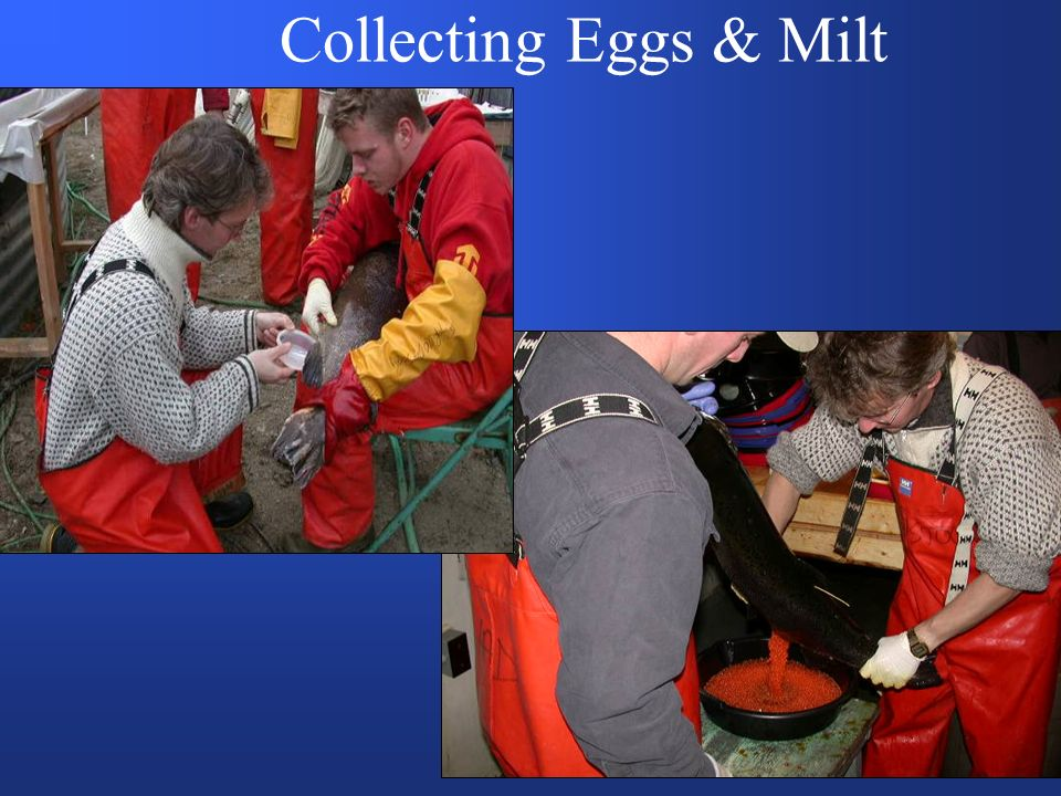 Collecting Eggs & Milt