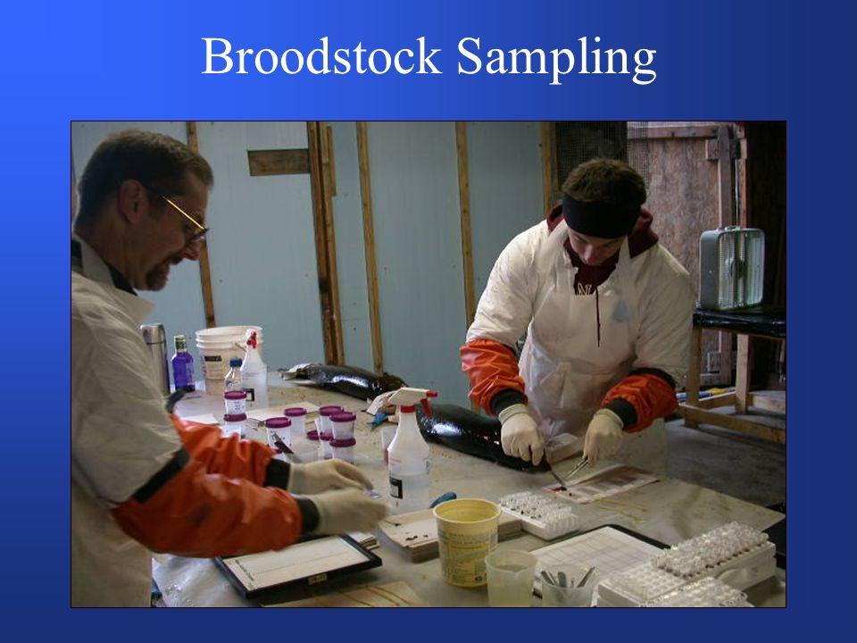 Broodstock Sampling