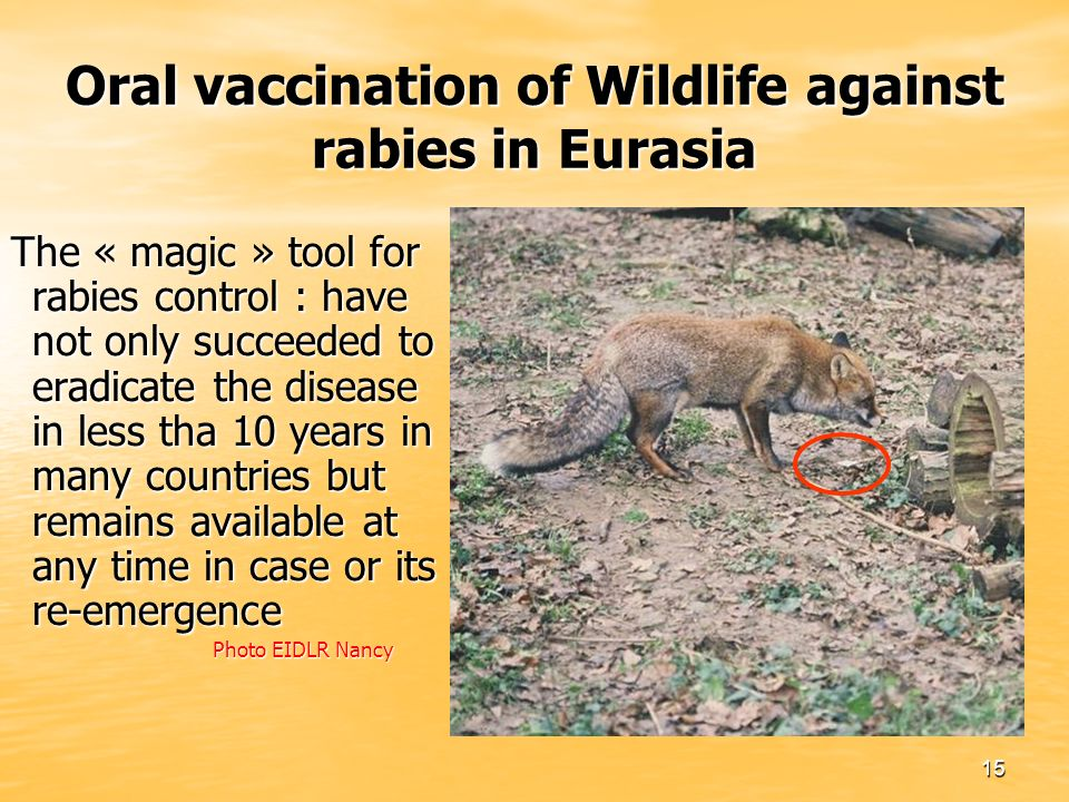 15 Oral vaccination of Wildlife against rabies in Eurasia The « magic » tool for rabies control : have not only succeeded to eradicate the disease in less tha 10 years in many countries but remains available at any time in case or its re-emergence Photo EIDLR Nancy Photo EIDLR Nancy