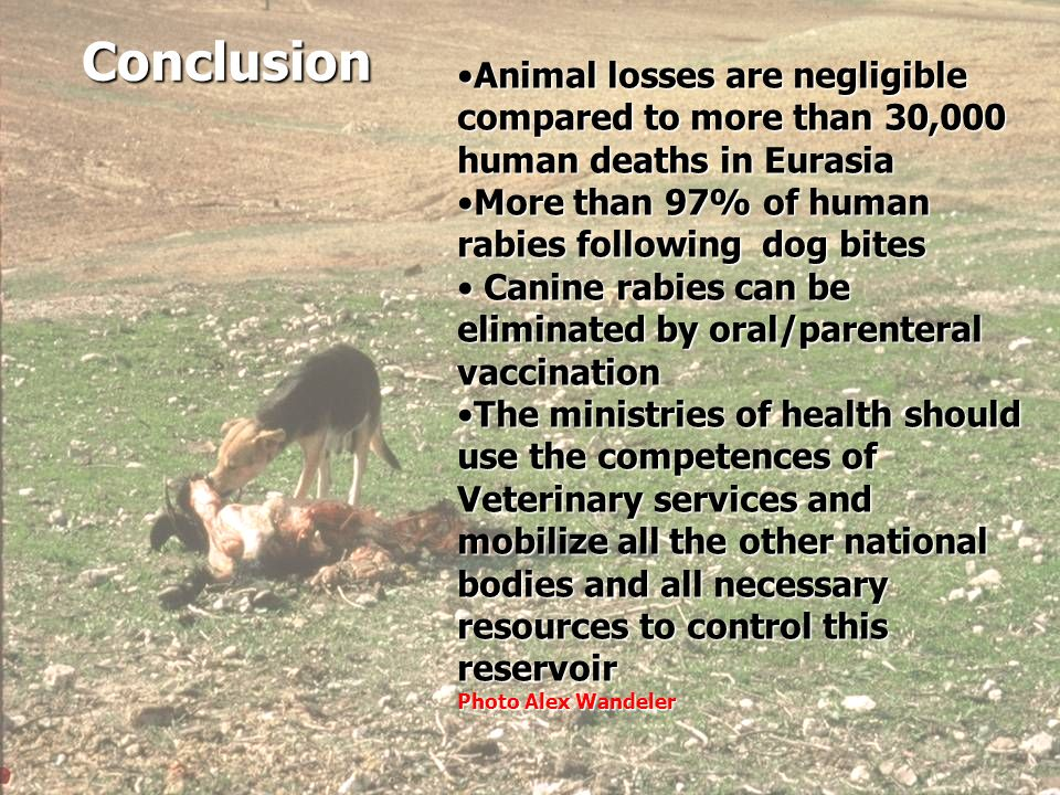 21 Conclusion In Eurasia: Animal losses are negligible compared to more than 30,000 human deaths Animal losses are negligible compared to more than 30,000 human deaths The main vector/reservoir of human rabies is the dog, and canine rabies can be eliminated by oral vaccination The main vector/reservoir of human rabies is the dog, and canine rabies can be eliminated by oral vaccination The ministries of health should mobilize all the other national bodies involved in dog rabies control, and contribute all necessary resources to control this reservoir The ministries of health should mobilize all the other national bodies involved in dog rabies control, and contribute all necessary resources to control this reservoir Animal losses are negligible compared to more than 30,000 human deaths in EurasiaAnimal losses are negligible compared to more than 30,000 human deaths in Eurasia More than 97% of human rabies following dog bitesMore than 97% of human rabies following dog bites Canine rabies can be eliminated by oral/parenteral vaccination Canine rabies can be eliminated by oral/parenteral vaccination The ministries of health should use the competences of Veterinary services and mobilize all the other national bodies and all necessary resources to control this reservoirThe ministries of health should use the competences of Veterinary services and mobilize all the other national bodies and all necessary resources to control this reservoir Photo Alex Wandeler Conclusion