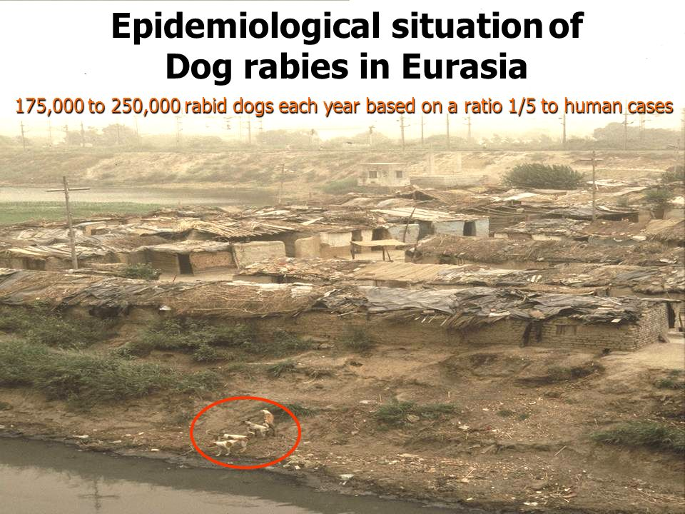 7 Epidemiological situation of Dog rabies in Eurasia Epizootic:from time to time Enzootic: 175,000 to 250,000 rabid dogs each year based on a ratio 1/5 to human cases Epidemiological situation of Dog rabies in Eurasia 175,000 to 250,000 rabid dogs each year based on a ratio 1/5 to human cases