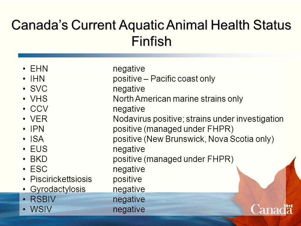 Canadas Current Aquatic Animal Health Status Finfish EHNnegative IHNpositive – Pacific coast only SVCnegative VHSNorth American marine strains only CCVnegative VERNodavirus positive; strains under investigation IPNpositive (managed under FHPR) ISA positive (New Brunswick, Nova Scotia only) EUSnegative BKDpositive (managed under FHPR) ESCnegative Piscirickettsiosispositive Gyrodactylosisnegative RSBIVnegative WSIVnegative
