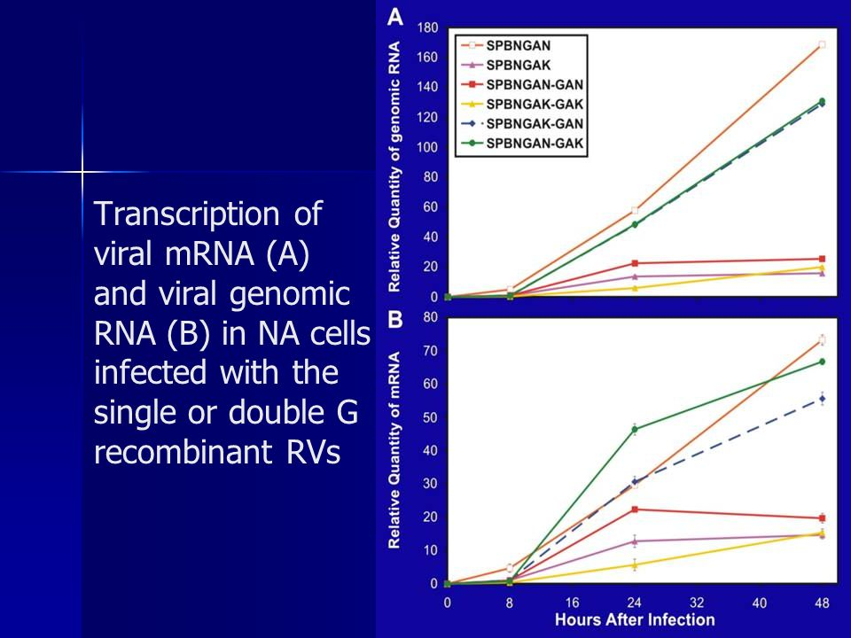 Transcription of viral mRNA (A) and viral genomic RNA (B) in NA cells infected with the single or double G recombinant RVs