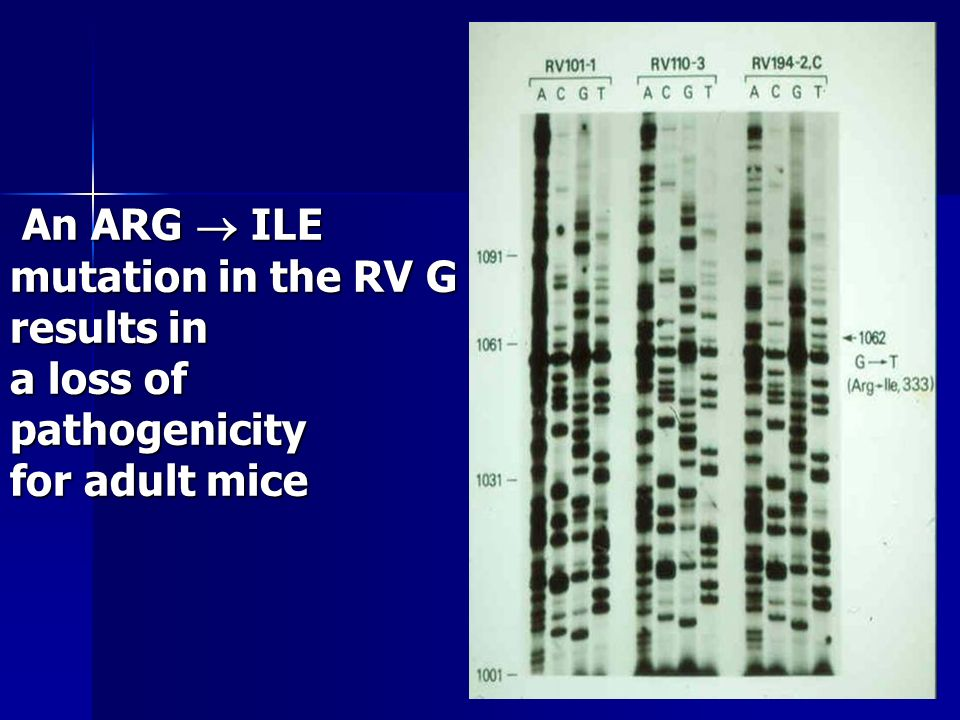 An ARG ILE mutation in the RV G results in a loss of pathogenicity for adult mice An ARG ILE mutation in the RV G results in a loss of pathogenicity for adult mice