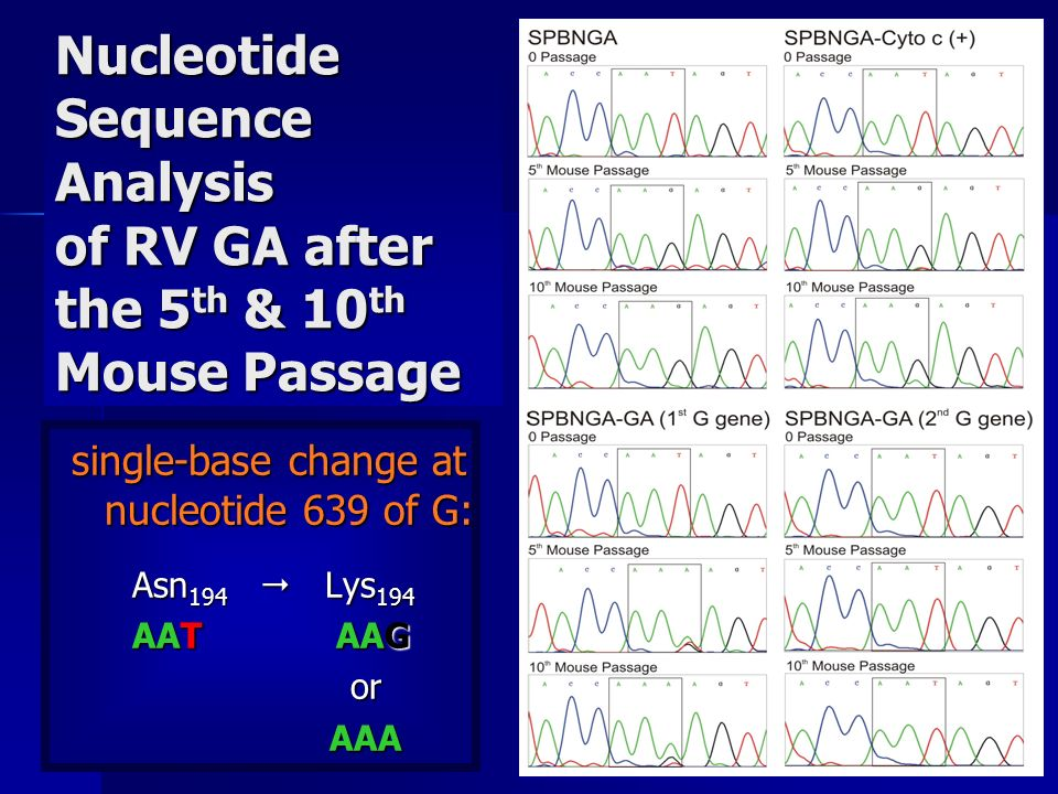 Nucleotide Sequence Analysis of RV GA after the 5 th & 10 th Mouse Passage single-base change at nucleotide 639 of G: Asn 194 Lys 194 Asn 194 Lys 194 AAT AAG AAT AAG or or AAA AAA