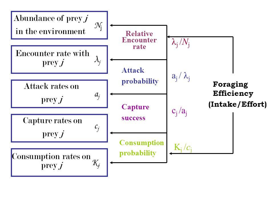 Abundance of prey j in the environment Encounter rate with prey j Attack rates on prey j Capture rates on prey j Consumption rates on prey j NjNj λjλj ajaj cjcj KjKj λ j /N j a j / λ j c j /a j K j /c j Relative Encounter rate Attack probability Capture success Consumption probability Foraging Efficiency (Intake/Effort)