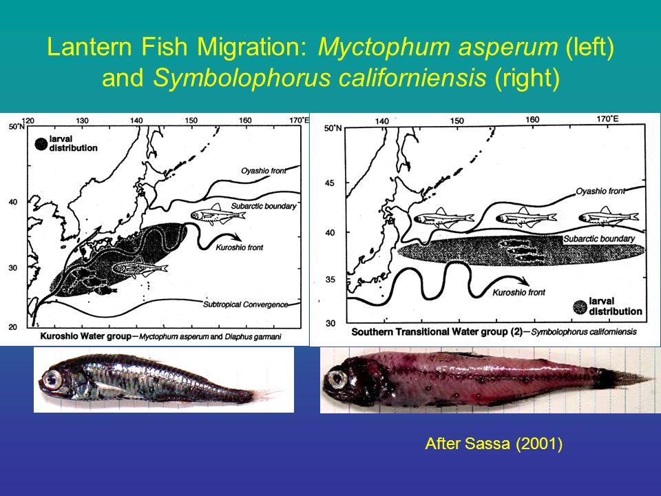 Lantern Fish Migration: Myctophum asperum (left) and Symbolophorus californiensis (right) After Sassa (2001)
