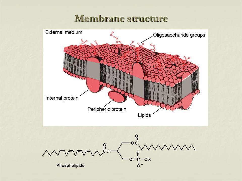 Membrane structure Phospholipids O O P O OX OC O CO O