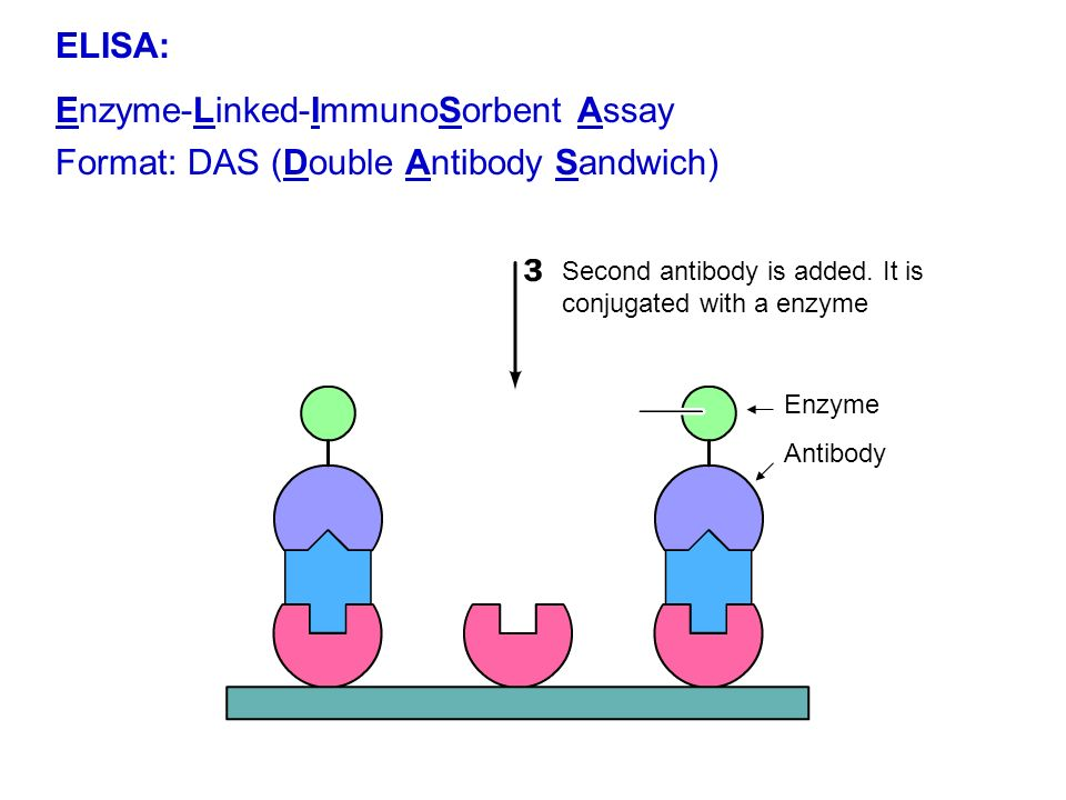 Sample that contains protein is added Protein ELISA: Enzyme-Linked-ImmunoSorbent Assay Formato: DAS (Double Antibody Sandwich)