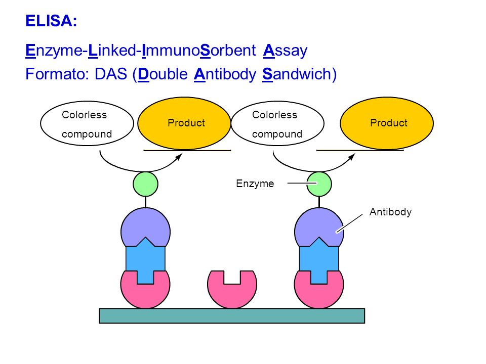 Second antibody is added. It is conjugated with a enzyme Enzyme Antibody ELISA: Enzyme-Linked-ImmunoSorbent Assay Format: DAS (Double Antibody Sandwic