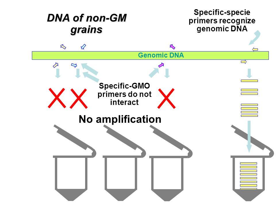 Recombinant gene Genomic DNA DNA of GM grains