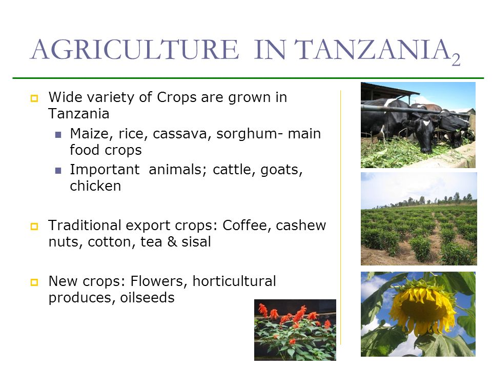 AGRICULTURE IN TANZANIA 2 Wide variety of Crops are grown in Tanzania Maize, rice, cassava, sorghum- main food crops Important animals; cattle, goats, chicken Traditional export crops: Coffee, cashew nuts, cotton, tea & sisal New crops: Flowers, horticultural produces, oilseeds 5