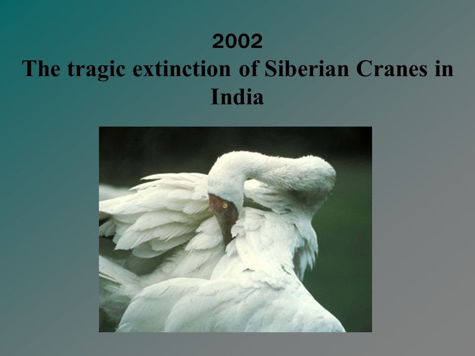 Convention on Migratory Species Siberian Crane MOU Signed by 11 range countries Partnered by ICF and Wetlands International Conservation Plan launched in 2001