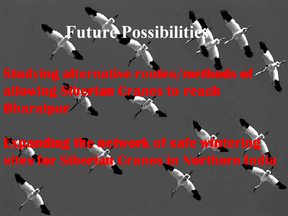 Future Possibilities Studying alternative routes/methods of allowing Siberian Cranes to reach Bharatpur Expanding the network of safe wintering sites