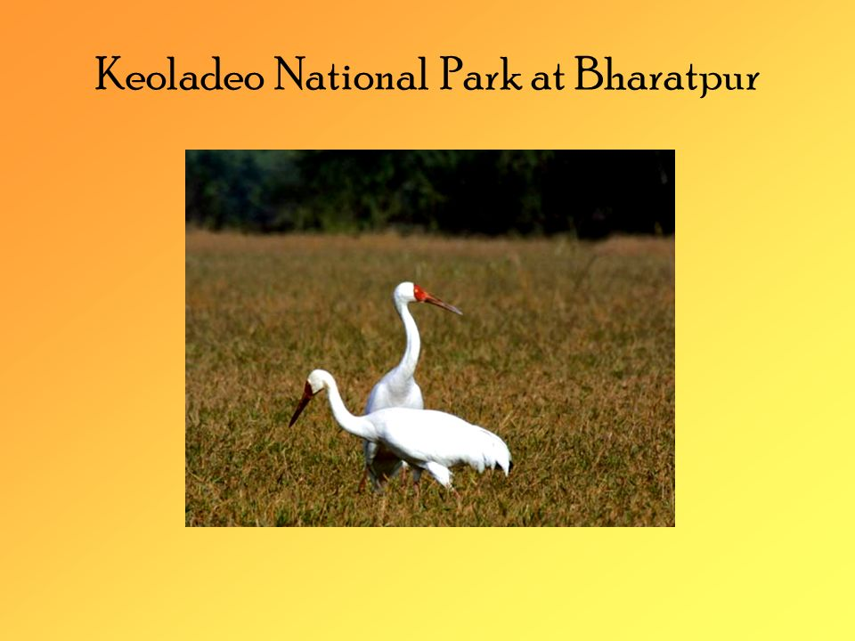 Siberian Crane The most specialized of all cranes Dependent on shallow wetland habitats on its migration cycle Extremely sensitive to disturbance